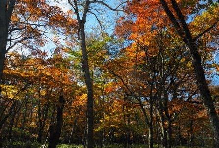 泉ヶ丘別荘地に生えているミズナラは紅葉が美しいので、癒されることでしょう。