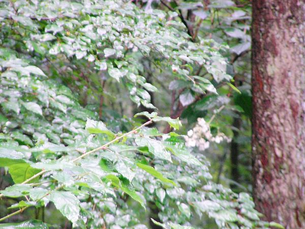雨は降っていなかったのですが、木々から露が。白い花はノリウツギです。