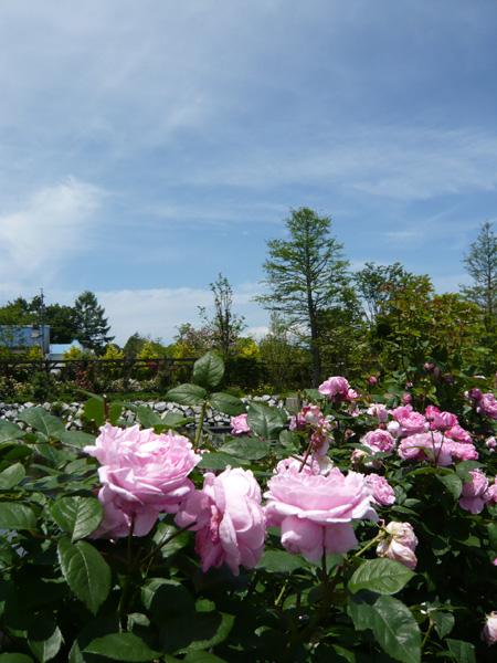 季節により何種類ものたくさんの薔薇が咲きます。