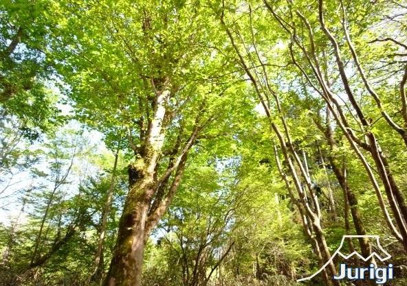 緑の美しい、十里木高原別荘地です。是非お越しください。
